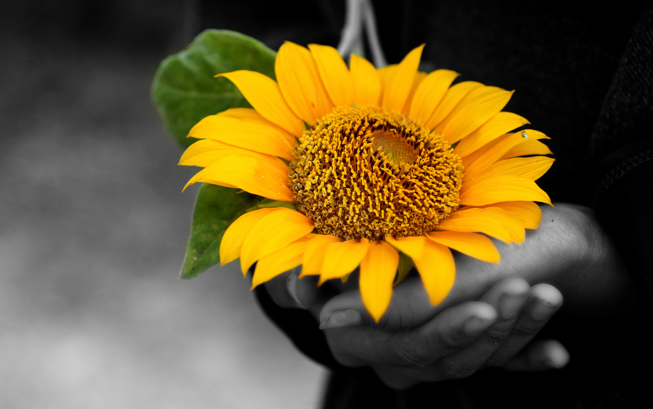 Hands holding colourful sunflower